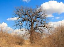 Ancient oak. Royalty Free Stock Image