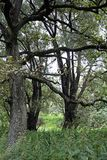 Ancient oaks in the floodplain of the Pripyat River. The Belarusian landscape. Summer. July. Mighty trees royalty free stock photography