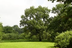 Ancient oaks in the floodplain of the Pripyat River. The Belarusian landscape. Summer. July. royalty free stock photos