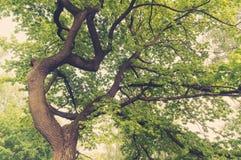 Ancient oaks leafy treetop Royalty Free Stock Photo