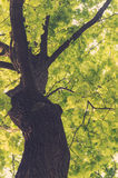 Ancient oaks leafy treetop Stock Photography