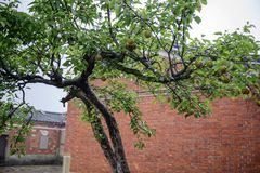 Ancient old house beside a tree. Trees with fruits on a background of the old house royalty free stock image