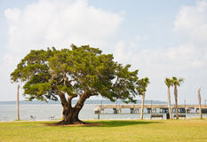 An ancient old oak tree by a pier and park Royalty Free Stock Image