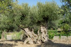 Ancient old olive tree royalty free stock images