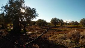 Ancient olive garden in winter under the evening sun, plowed land, pipes for irrigation. Ancient Olive Trees, a collection of landscapes in an old olive garden stock video