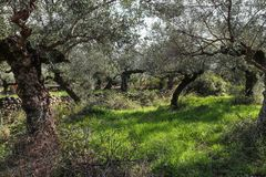 Ancient olive grove in Greece with gnarled trees and tumbled rock walls and a low building in the distance royalty free stock images