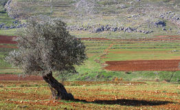Ancient Olive Tree. An ancient olive tree looks over fertile agricultural fields in southern Lebanon Stock Photos