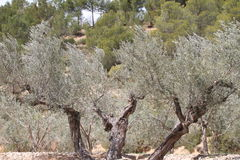 Ancient olive tree Stock Photography