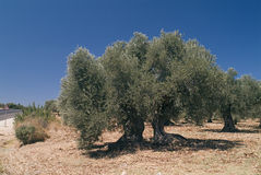 Ancient olive tree Stock Images