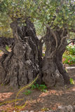 Ancient olive tree. The ancient tree split by a lightning,  in Gethsemane Garden  in Jerusalem Stock Photo