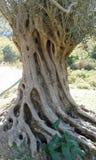 Ancient olive tree. Fodele. Crete. Greece. Greek Royalty Free Stock Photo
