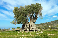 Ancient olive tree royalty free stock image
