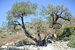 Ancient olive tree on the island in the Aegean Sea Royalty Free Stock Photos
