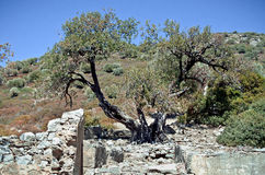 Ancient olive tree on the island in the Aegean Sea Royalty Free Stock Photo