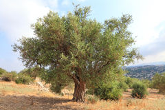 Ancient olive tree Royalty Free Stock Images