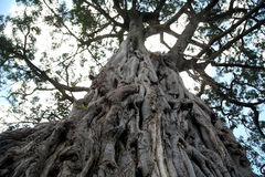 Ancient Olive Tree (Kenya) Royalty Free Stock Images