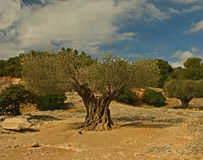 Ancient olive tree at Pont Du Gard Royalty Free Stock Photos