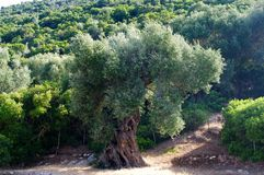 Ancient olive tree Royalty Free Stock Photography