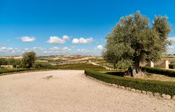 Ancient olive tree with Sicilian countryside landscape in background. stock photography