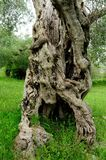 Ancient olive tree trunk, central and southern Italy Royalty Free Stock Photography