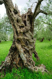 Ancient olive tree trunk, central and southern Italy Stock Photos