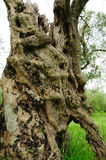 Ancient olive tree trunk, central and southern Italy Stock Photography