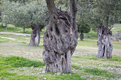 Ancient olive tree trunks in Rhodes, Greece royalty free stock image