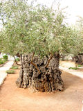 Ancient Olive Tree. 2,000 year old Olive Tree in Jerusalem, Israel Royalty Free Stock Images