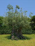Ancient olive tree 1500 years old Royalty Free Stock Image