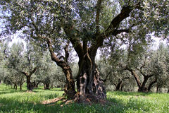 Ancient olive trees Royalty Free Stock Images