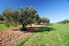 Ancient olive trees. In attractive perspective Stock Photos