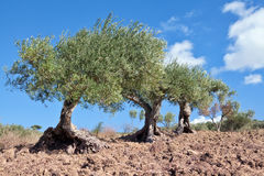 Ancient olive trees Stock Image