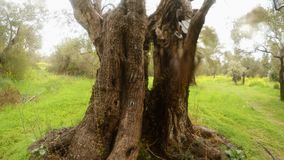 Trunk of an old olive tree close-up in the rain in a green winter garden. Ancient Olive Trees, a collection of landscapes in an old olive garden in winter. The stock video footage