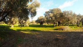 Old olive garden in the winter under the evening sun. Ancient Olive Trees, a collection of landscapes in an old olive garden in winter. The garden was planted stock video footage