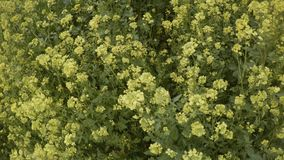 Top view of yellow rape flowers in the wind. Ancient Olive Trees, a collection of landscapes in an old olive garden in winter. The garden was planted 800 years stock footage