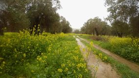 Old olive trees in the pouring rain in the field of rape flowers, dirt road, deep winter in cyprus. Ancient Olive Trees, a collection of landscapes in an old stock video