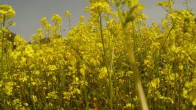 Someone goes along the field of yellow rape flowers. Ancient Olive Trees, a collection of landscapes in an old olive garden in winter. The garden was planted 800 stock footage