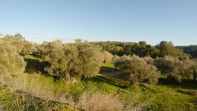 Old royal olive garden under the warm sun of the Mediterranean. Ancient Olive Trees, a collection of landscapes in an old olive garden in winter. The garden was stock footage