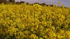 A lot of yellow rape flowers and bees under the blue sky stock footage