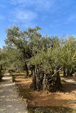 Ancient olive trees in the garden of Gethsemane, Jerusalem Stock Images