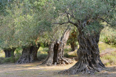 Ancient olive trees royalty free stock photography