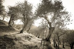 Ancient olive trees of the Pisan countryside stock photography