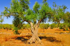 Ancient olive trees of Salento, Apulia, southern Italy. Ancient olive trees of Salento, Apulia. Typical landscape of southern Italy with olive groves. The royalty free stock images