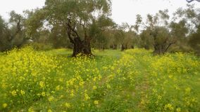 Ancient olive trees under the rain, green grass in winter and rape flowers. Ancient Olive Trees, a collection of landscapes in an old olive garden in winter. The stock video