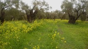 Ancient olive trees under a rainstorm, a panorama to the right, green grass in winter and rape flowers. Ancient Olive Trees, a collection of landscapes in an old stock video