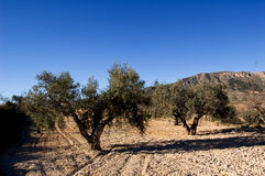 Ancient olives trees Stock Image