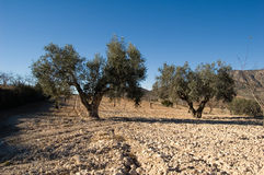 Ancient olives trees royalty free stock images