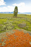 Ancient orange lichens growing on rocks in Centennial Valley near Lakeview, MT Stock Photography