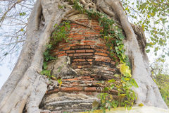 The ancient pagoda covered by the tree Royalty Free Stock Photography