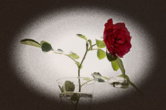 Ancient photo of rose Royalty Free Stock Images